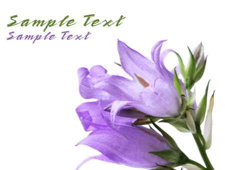 creeping: Creeping blue bellflower isolated on white