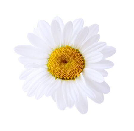 chamomile flower: Single daisy head, isolated on white