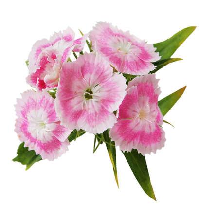 Cluster of dianthus, isolated on white