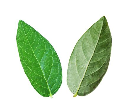the sides: Two sides of blueberry leaf, isolated on white