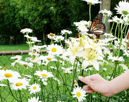Hand holding cluster of lilies among daisy flowers and monarch butterfly photo