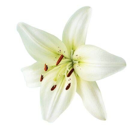 anthers: Creamy lily flower isolated on white background Stock Photo