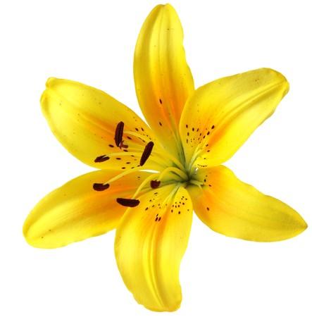 lilie: Single gelbe Lilie, Bl�te, isoliert auf wei�em