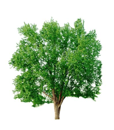 silver maple: Single Silver maple isolated on white