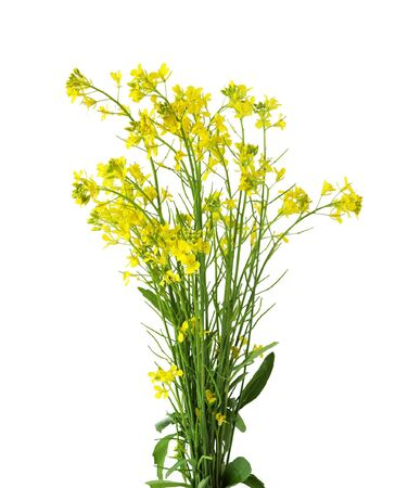 mustard seed: Rapeseed flowers isolated on white background Stock Photo