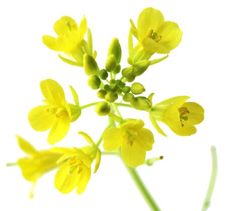 Macro rapeseed flowers isolated on white