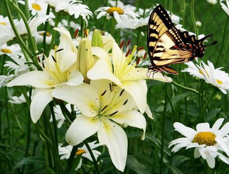 Eastern tiger swallowtail butterfly, lily and daisy photo