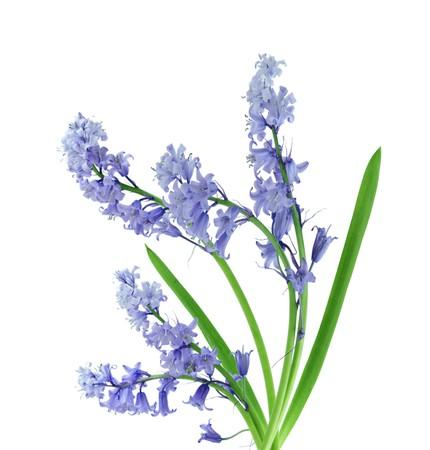 hayfever: Bluebell flowers over white Stock Photo