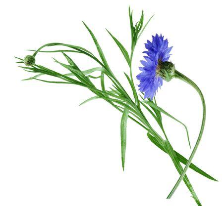 Blue cornflower photo