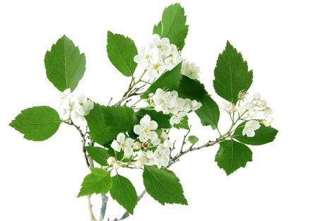 Hawthorn flower on branch photo