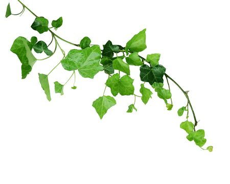 Ivy on the vine