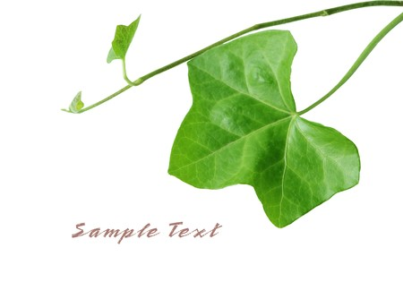 variegated: Variegated Ivy leaves isolated on white background