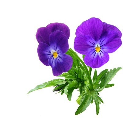 Pansie flowers, isolated on white background