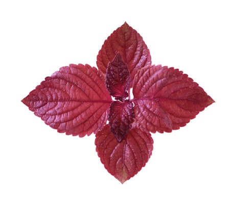 Red Perilla Leaves photo