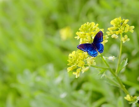 Rapes flower and blue butterfly