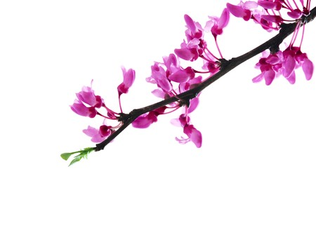 redbud tree: Redbud tree isolated on white Stock Photo