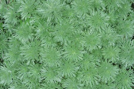 Artermisia Vilver Mound for textured background photo