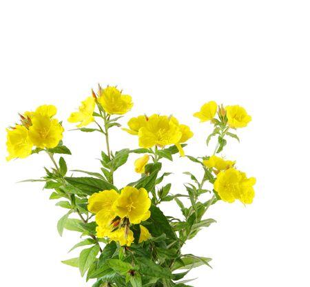 Sundrops flower plant photo