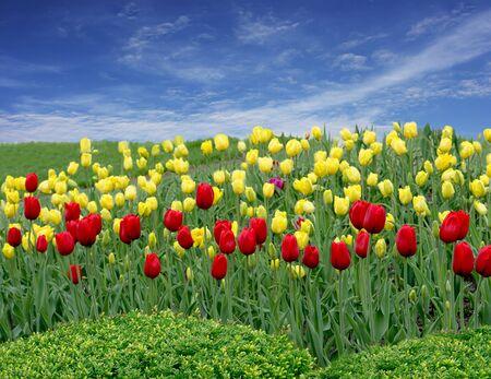 Tulips on the fields 版權商用圖片