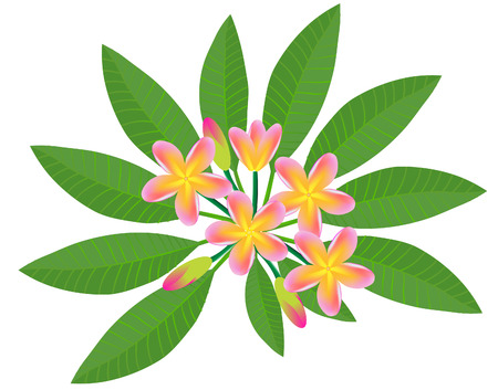 vector illustration of a pink plumeria frangipani flowers 向量圖像