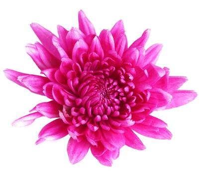 Single pink chrysanthemum isolated on white background Stock Photo
