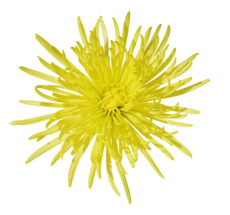 Yellow Chrysanthemum Flower isolated on white background Stock Photo