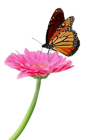 monarch butterfly: Fresh pink gerbera flower and monarch butterfly Stock Photo