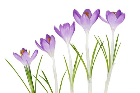 Blue purple crocus flowers isolated on white