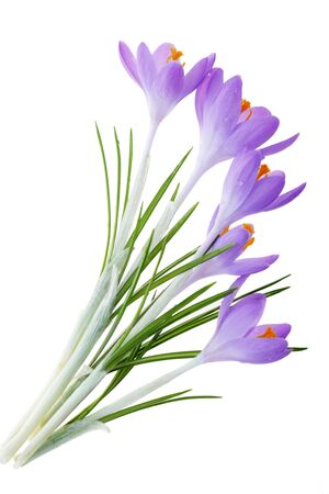 Group of purple blue crocus flowers isolated on white