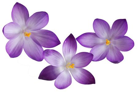 Three purple crocus flowers isolated on white