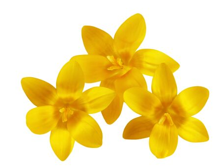 Three fresh yellow crocus flowers isolated on white