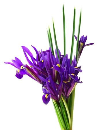 Bunch of purple iris flowers isolated on white photo