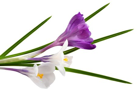 Two color crocus flowers isolated on white background