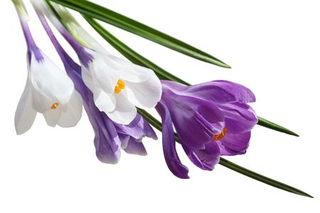 White and purple crocus flowers isolated