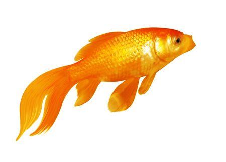 Single gold fish isolated on white background Stock Photo - 4722606