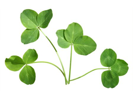 Four shamrock leaves isolated on white background photo