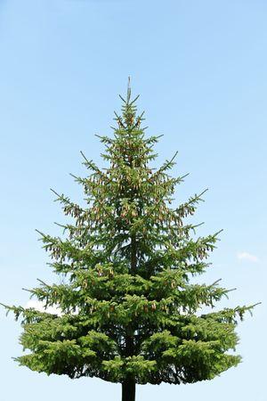 Single pine tree against the blue sky Stock fotó