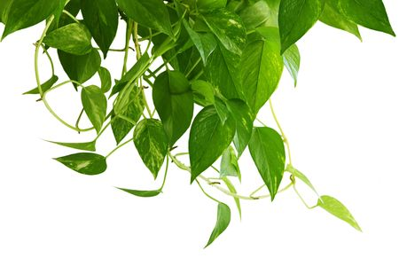 houseplant: Pothos green houseplant isolated on white background Stock Photo