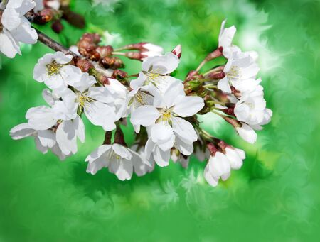 Branch of spring white flowers against floral green background