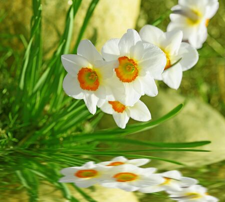 White daffodil flowers reflection on the water Zdjęcie Seryjne