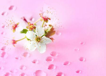 fleur de cerisier: Single cerise fleur sur les gouttes d'eau grunge background Banque d'images