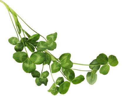 Fresh Shamrock plants isolated on white background photo