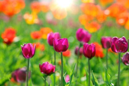 Purple tulip flower in the field orange red blurry background
