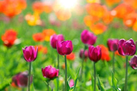 Purple tulip flower in the field orange red blurry background photo