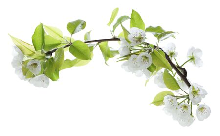 Branch of pear flower isolated on white background photo