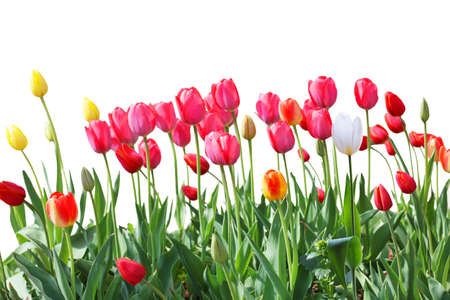 Tulip flowers on the border isolated on white photo