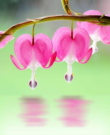 Two bleeding heart flowers on branch over green  Stock Photo