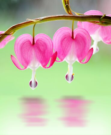 Two bleeding heart flowers on branch over green  photo