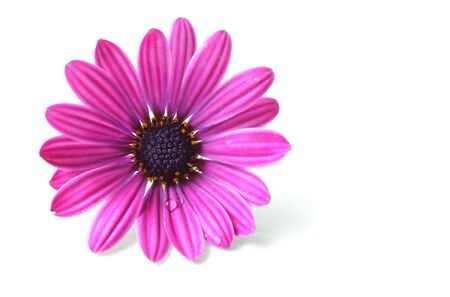Single pink chrysanthemum flower isolated on white  photo