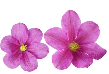 Two purple clematis flowers isolated on white photo